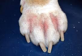 allergiás kutya láb