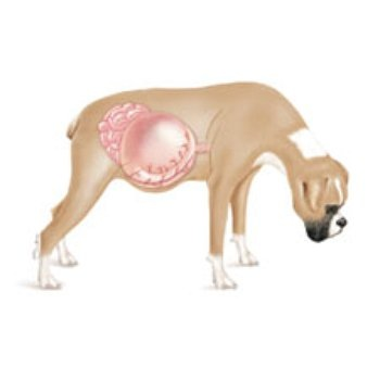 kutya gyomorcsvarodása